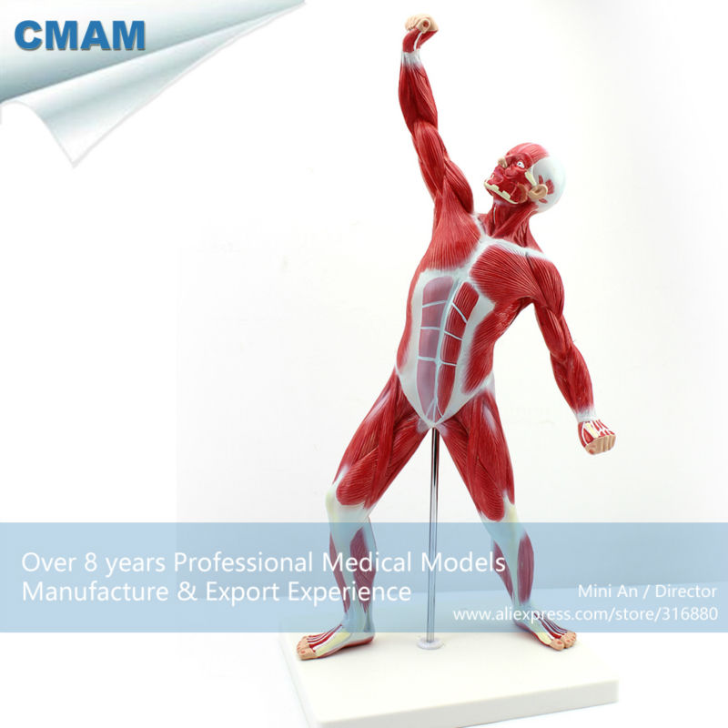 12459 CMAM ANATOMY21 Female Breast Section Anatomical Model in ...