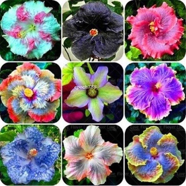 100 Stücke Mix Farben Riesen Hibiskus Blume Samen Hardy Hause Blumen