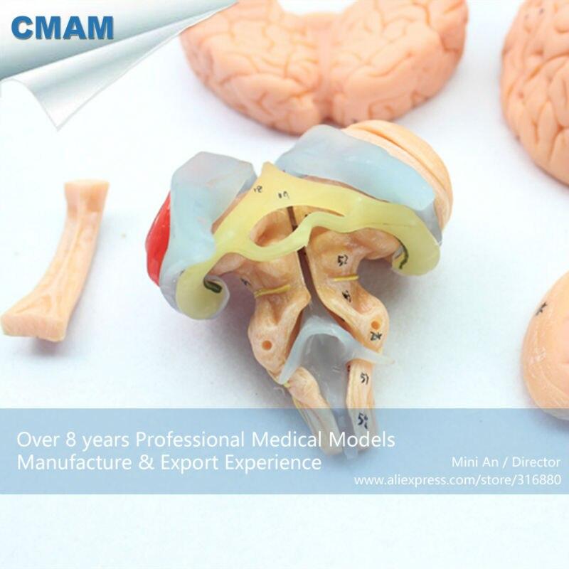 12403 CMAM BRAIN06 Advanced Medical Education Brain Anatomical Model ...