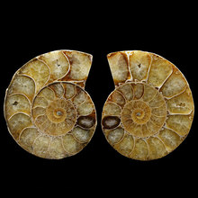 3-5cm natural color snail fossil stone slice shell specimen animal