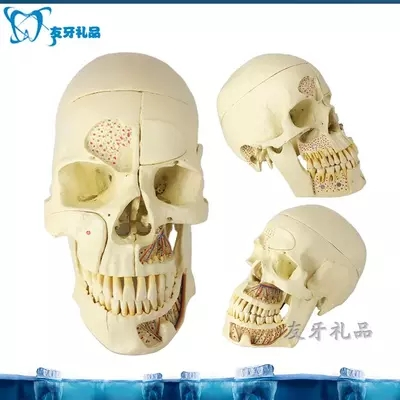 Teeth model removable head skull model  free shoppingTeeth model removable head skull model  free shopping