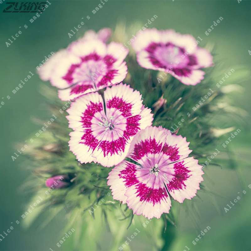 Zlking 200pcs pink dianthus carnation perennial flowers potted home zlking 200pcs pink dianthus carnation perennial flowers potted home garden plants white sweet william flower bonsai in bonsai from home garden on mightylinksfo
