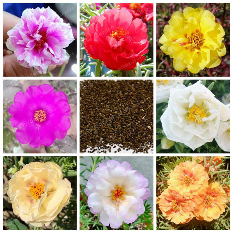 100 Pcs Portulaca Grandiflora Bonsai  Moss-Rose Purslane Double Flower Bonsai DIY Home Garden Bonsai Flower DIY Plant