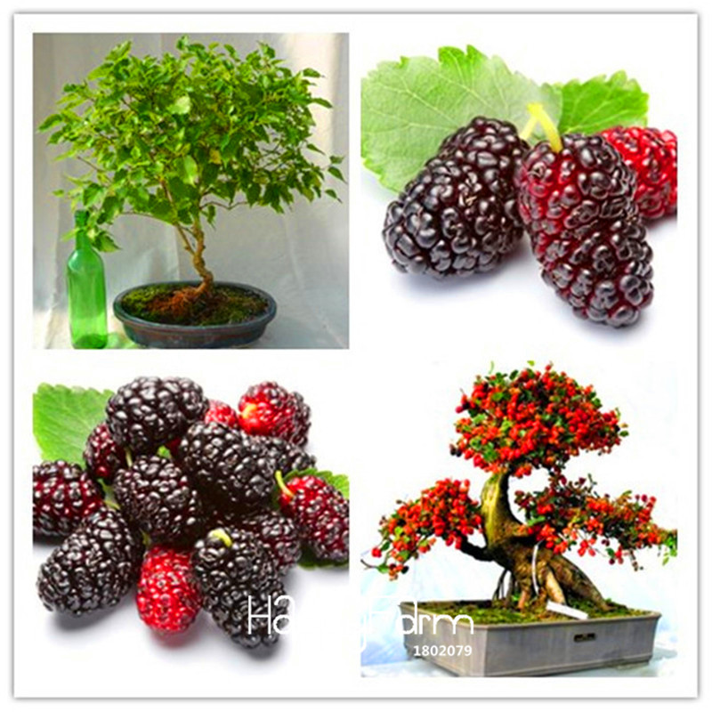 New Arrival!10PCS mulb erry bags Mulberry fruit seeds DIY home bonsai Morus Nigra Tree, black mulberry seeds plants,#PQWIC5