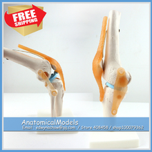 ED-JOINT05 Life Size Human Knee Joint Anatomical Model Skeleton,  Medical Science Educational Teaching Anatomical Models