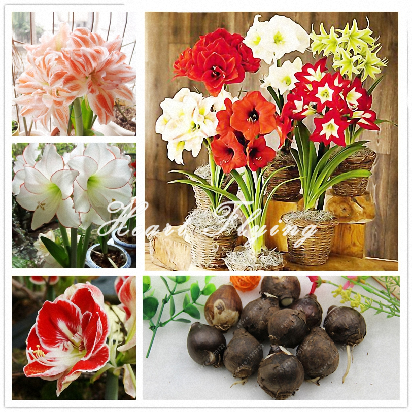 1 PCS Amaryllis bulbs True Hippeastrum bulbs flowers (Not seeds) Barbados Lily potted home garden Balcony plant Bulbous