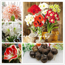 2 PCS Amaryllis bulbs True Hippeastrum bulbs flowers (Not seeds) Barbados Lily potted home garden Balcony  plant Bulbous