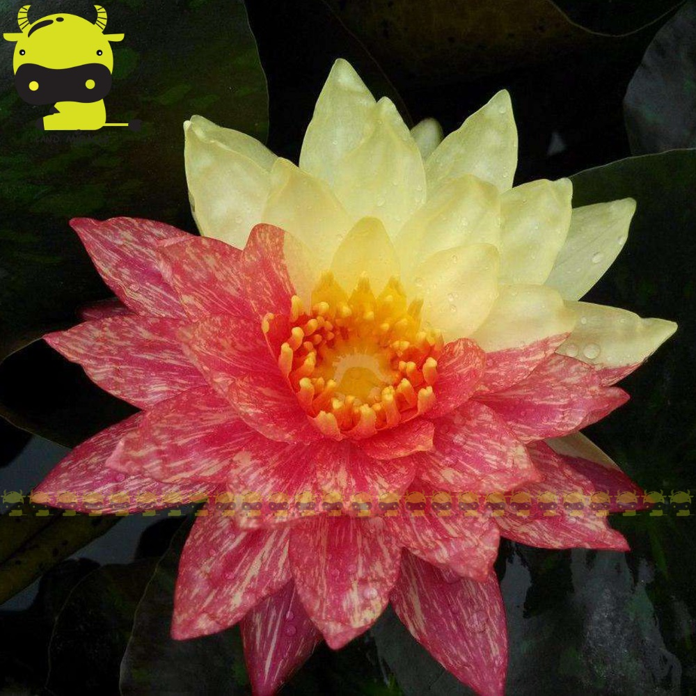 New Hybrids Striped Lotus Flower Seeds 1 Seedpack Rare Aquatic