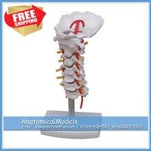 ED-VERTEBRA03 Human Cervical Vertebrae Column Model,  Medical Science Educational Teaching Anatomical Models