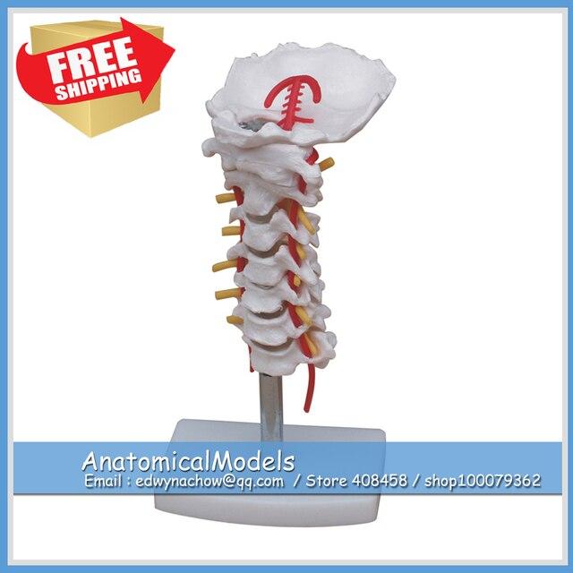 ED VERTEBRA03 Vértebras Cervicales Columna Modelo Humano, Modelos ...