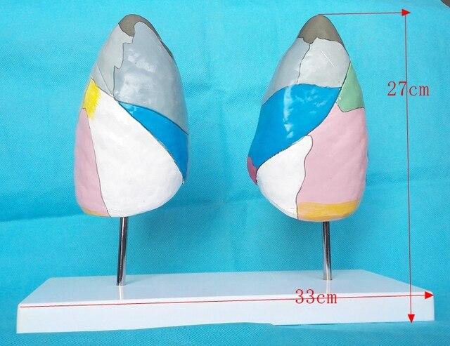 1:1 Life Size Colored Segmental Anatomy Human Lung Model Respiratory ...