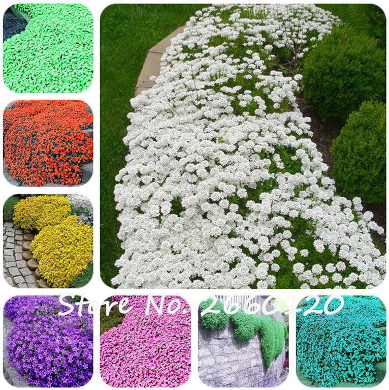 100 Pcs Colorful ROCK CRESS Or Creeping Thyme - Perennial Ground Cover Flower, Foliage Plant For Home Garden Decor