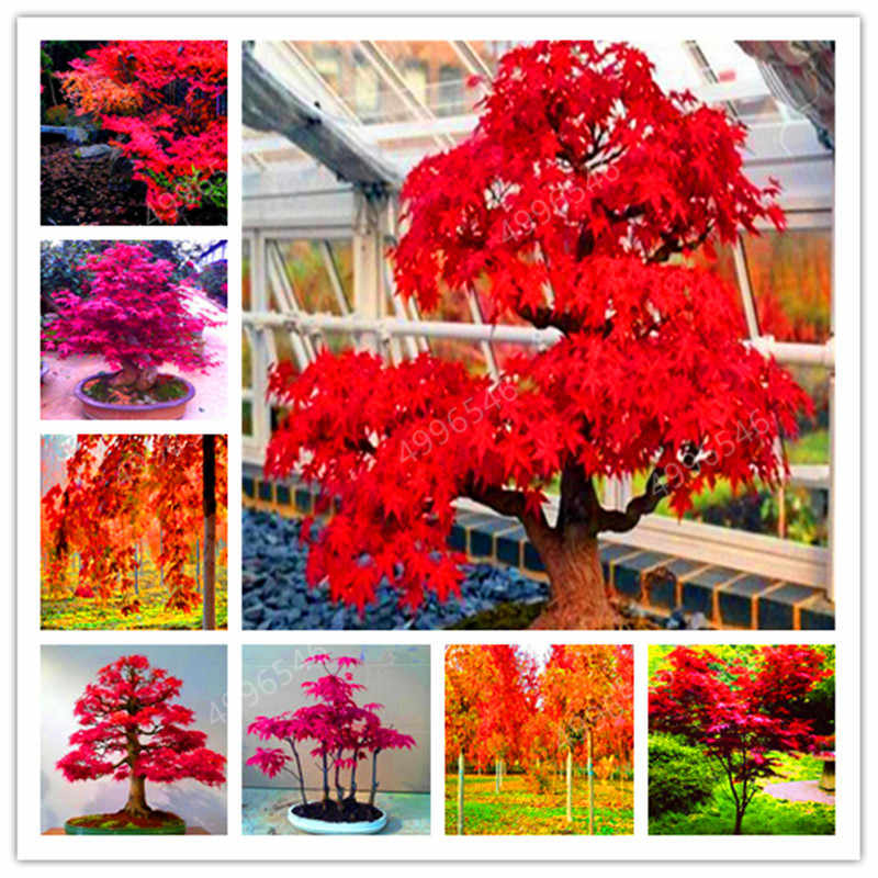 50pcs 100% True U.S.A Red Maple Tree America bonsai plants Very Beautiful Indoor Tree home garden decortion free shipping