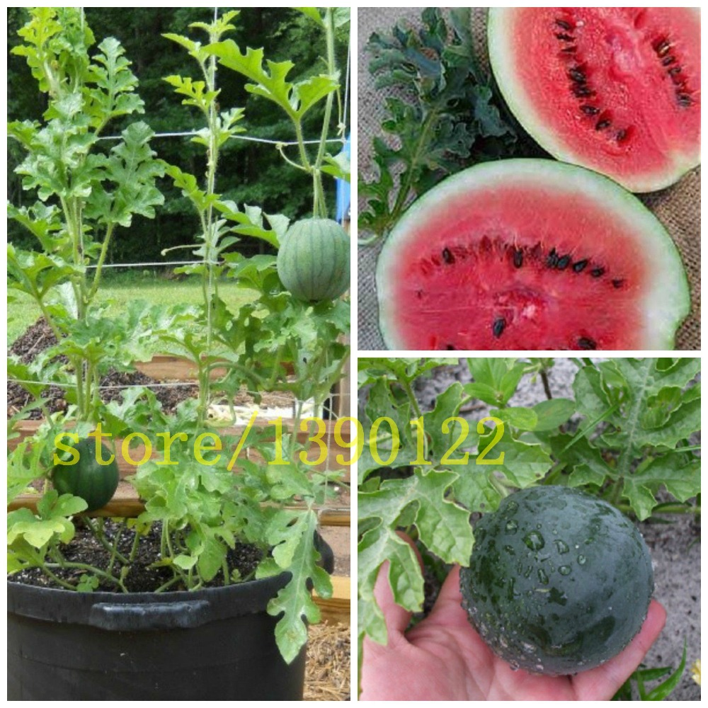 50 bonsai  watermelon seeds Fruit Bonsai seeds Watermelon plant(Citrullus lanatus) NON-GMO for home garden planting