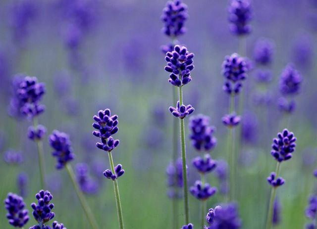 Lavender Seeds, Lavender Angustifolia, 100pcs/pack