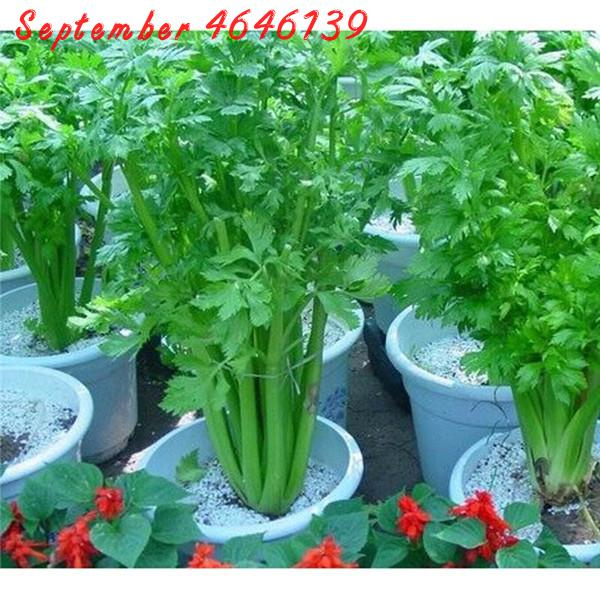 Sale! 100pcs Celery Apium Graveolens Delicious Edible Bonsai,vegetable Green Healthy Food Plants For Garden,farm Free Shipping