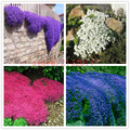 100 Semillas de Tomillo Rastrero unids/bolsa o ROCA Azul Semillas de BERRO de cubierta Vegetal perenne flor, crecimiento Natural para el jardín de su casa