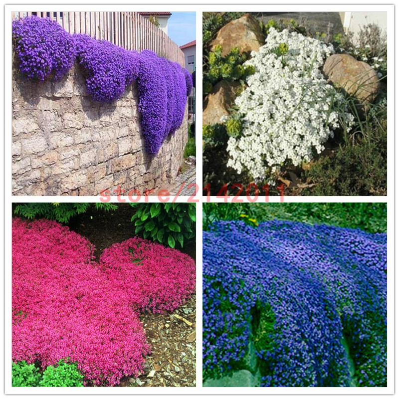 100pcs/bag Creeping Thyme Seeds or Blue ROCK CRESS Seeds - Perennial Ground cover flower , Natural growth for home garden