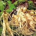 6 Sementes Chinês Sementes de Raiz de Ginseng Panax Hardy Qualidade Aptidão Física Rei das Ervas Frete Grátis