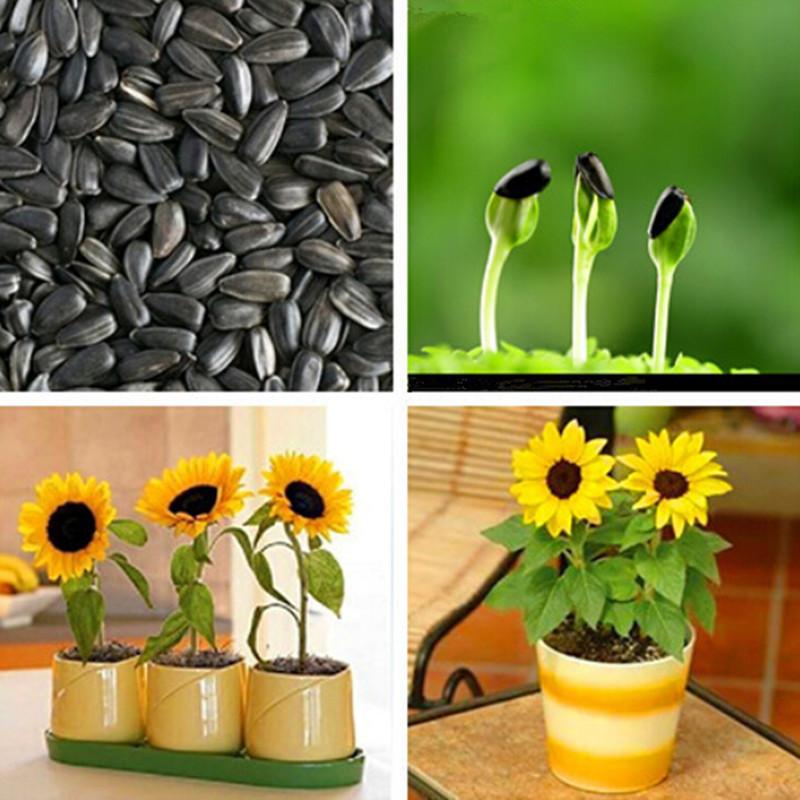 Resultado de imagem para girassol da semente à flor