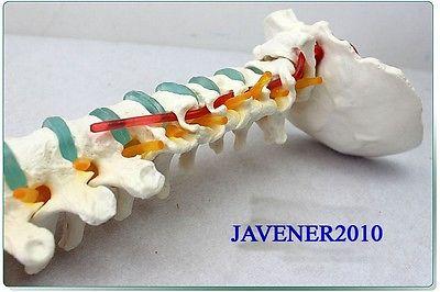 29inch Human Anatomical Spine Pelvis Medical Model Leg Bones + Stand