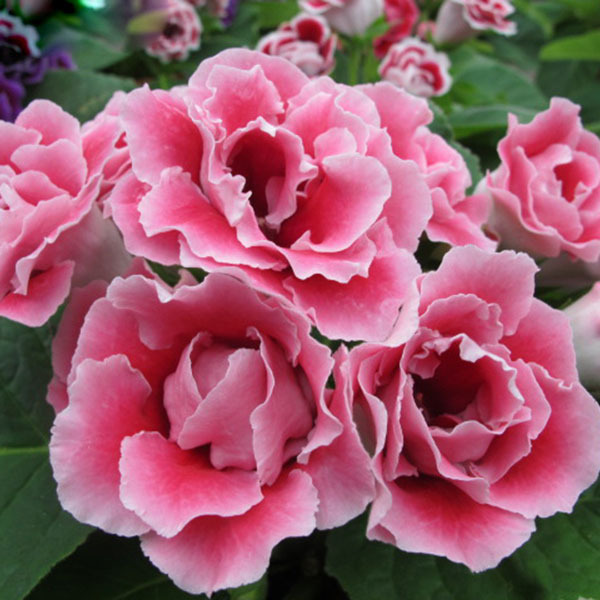 Hot sale bright pink gloxinia seeds perennial flowering plants hot sale bright pink gloxinia seeds perennial flowering plants sinningia speciosa bonsai balcony flower diy home garden 120 pcs in bonsai from home garden mightylinksfo