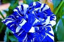 100pcs/bag rose seeds tiger striped rose rare bonsai flower seeds rainbow green blue black rose petals plant for home garden