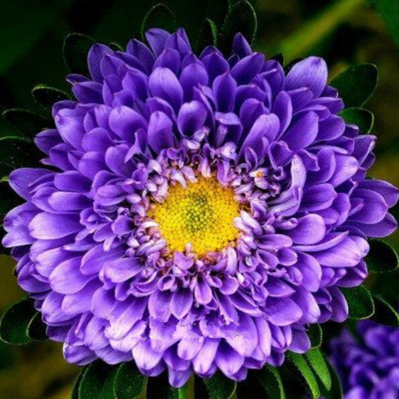 popular blue asterbuy cheap blue aster lots from china blue aster, Natural flower