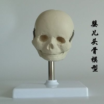 Neonate skull model free shopping
