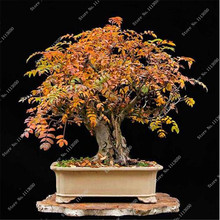 10Pcs Ash Fraxinus Tree Seeds