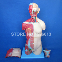 HOT Dual Sex Torso With Open Back And Internal Organs 32 Parts Human Unisex Torso Model