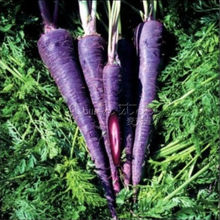 400 Carrot Purple Haze Hybrid Great Vegetable  Seeds~Organic