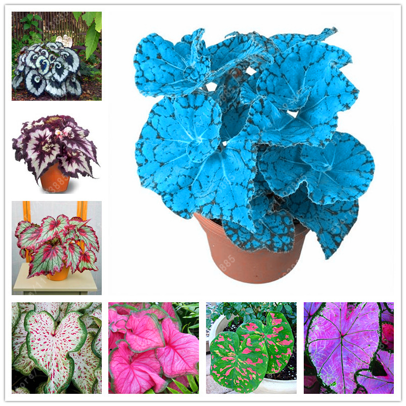 100pcs/bag Begonia seeds bonsai flower seeds looks like coleus seed so rare flowers begonia plants for home garden