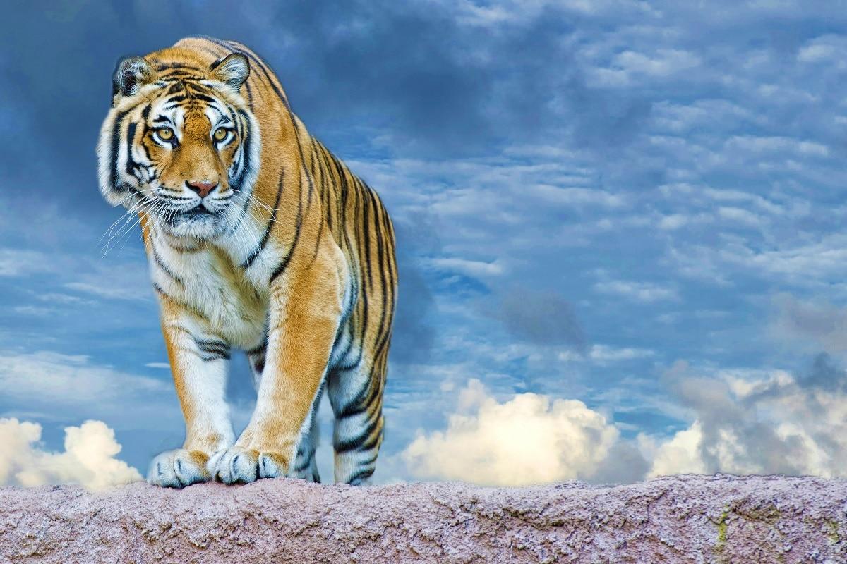 El cielo mirar cara nubes Tigre Predator patas rayas JZK526 Sala ...