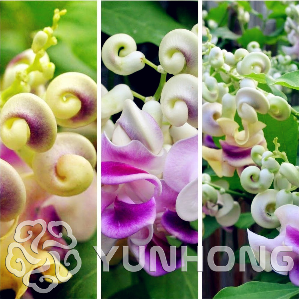 Popular perennial flowering vines buy cheap perennial flowering 50 pcs japanese creeper seeds rare boston snail flower vine seeds vines climbing plants dhlflorist Images