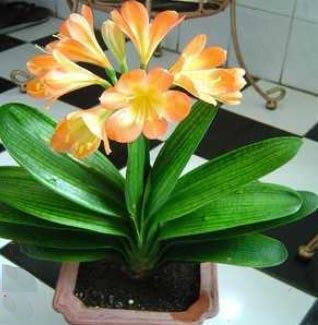 tienda online unids clivia clivia bonsai jardn exterior plantas flor libres del envo aliexpress mvil with plantas de jardin exterior