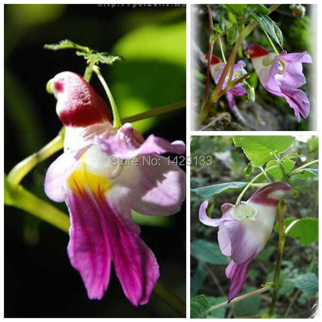 Free Shipping 100pcs China Rare Parrot Orchid Flower Seeds Worlds