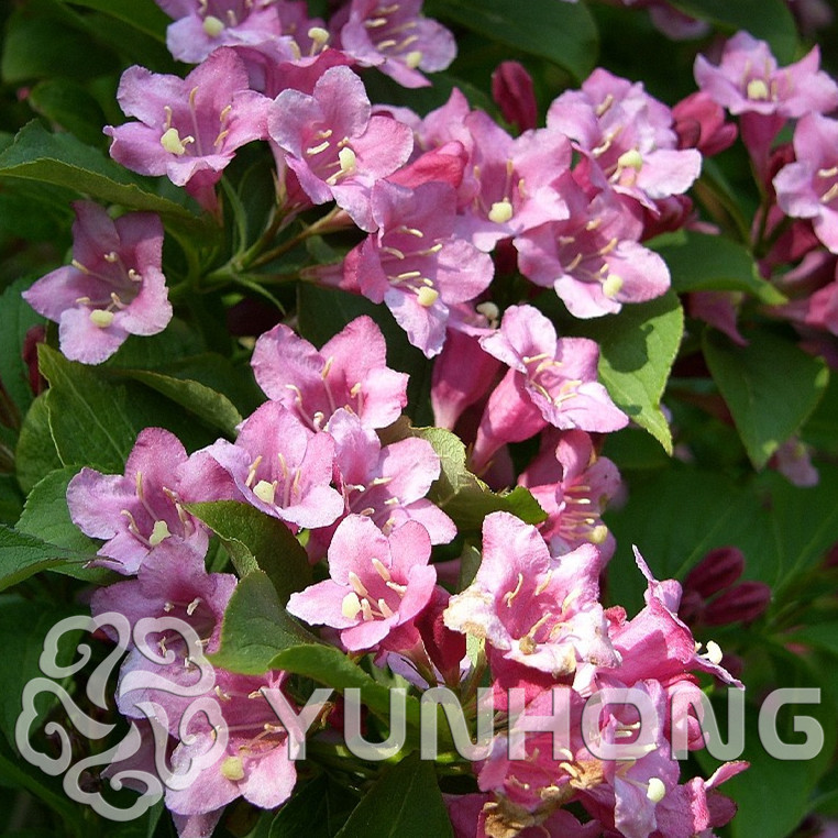 Real Indoor Trees Part - 21: Real Chinese Amygdalus Triloba Tree Seed Indoor Prunus Triloba Bonsai  Outdoor Garden Flowering Plum Flower Plants Sementes 10PCS-in Bonsai From  Home ...