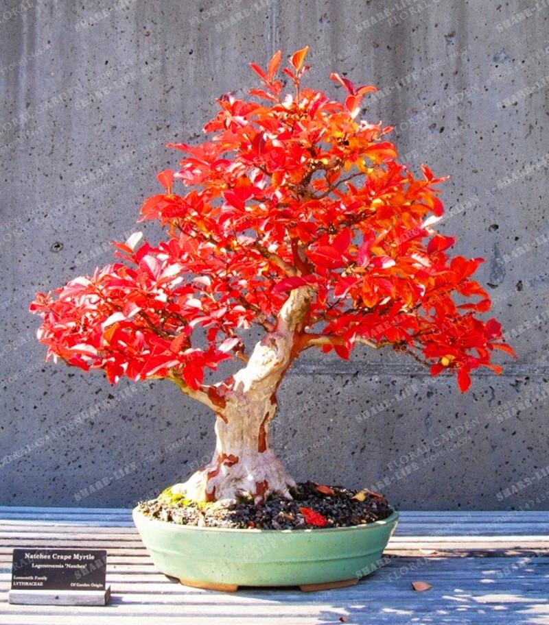 Hot Selling 10pcs Red Oak Tree Bonsai Quercus Alba Acorns Bonsai For Diy Home Garden Free Shipping Buy At The Price Of 0 48 In Aliexpress Com Imall Com