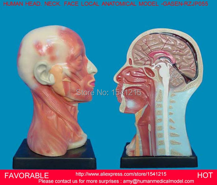 HUMAN HEAD ANATOMICAL MODEL BRAIN MODEL MEDICAL SCIENCE TEACHING SUPPLIES,HUMAN BRAIN,MEDICAL ANATOMICAL TORSO GASEN-RZJP055 2 part anatomical healthy human uterus and ovary model female medical anatomy teaching supplies