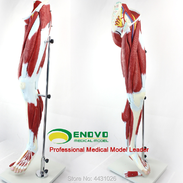 Enovo Human Lower Limb Muscle Vascular Nerve Model Leg Movement