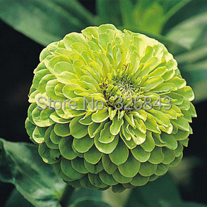 Purple fireball zinnia, zinnia seeds, youth-and-old-age flower seeds - 60 Seed particles