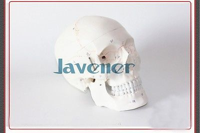 Life Size Human Anatomical Anatomy Head Skeleton Skull Model Cheap And Fine улитки fine life граненые