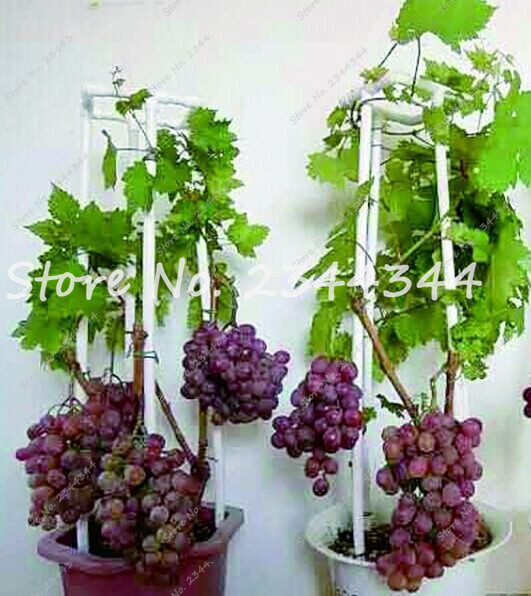 Micro Grape Seed Patio Silas Mini Branch Indoor Plants 50 Seeds Bonsai Sweet Delicous Rare