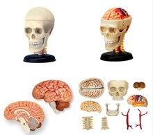 Modelo de anatomia anatômica humana 4d, modelo de crânio réplica osso cérebro corpo orgânicos modelo fonte médica e equipamento