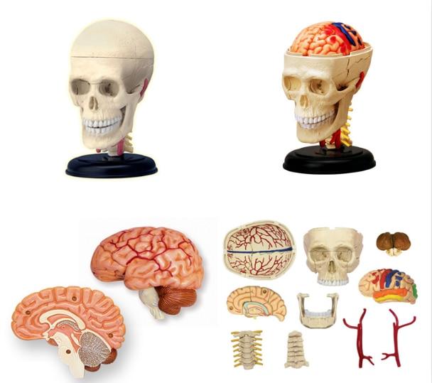 Skull 4d  human body organ anatomical model medical teaching model