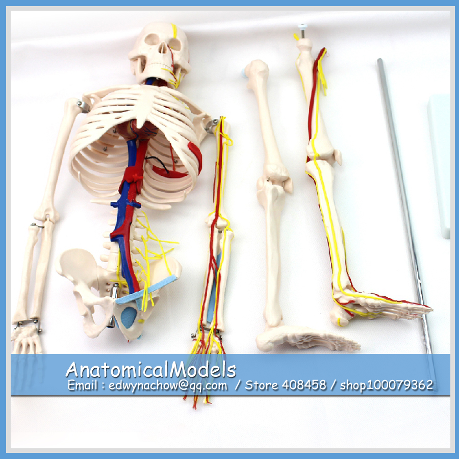 ED-SKELETON07 Human Skeleton Model w/ Nerves & Blood Vessels 85cm,  Medical Science Educational Teaching Anatomical Models kate christmas photo background wood wall and wood floor yellow lights for children photography backdrops stage backgrounds