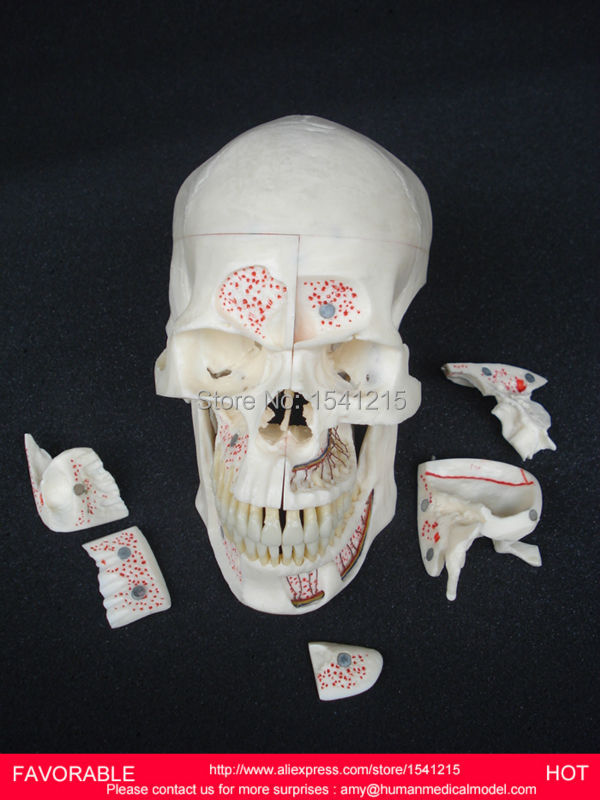 HUMAN HEAD ANATOMICAL MODEL BRAIN MODEL MEDICAL SCIENCE TEACHING SUPPLIES BRAIN SKULL BRAIN ANATOMICAL MODEL -GASEN-DEN029 цена