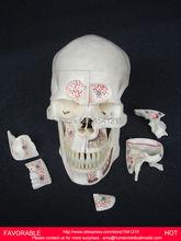 HUMAN HEAD ANATOMICAL MODEL BRAIN MODEL MEDICAL SCIENCE TEACHING SUPPLIES BRAIN SKULL BRAIN ANATOMICAL MODEL -GASEN-DEN029
