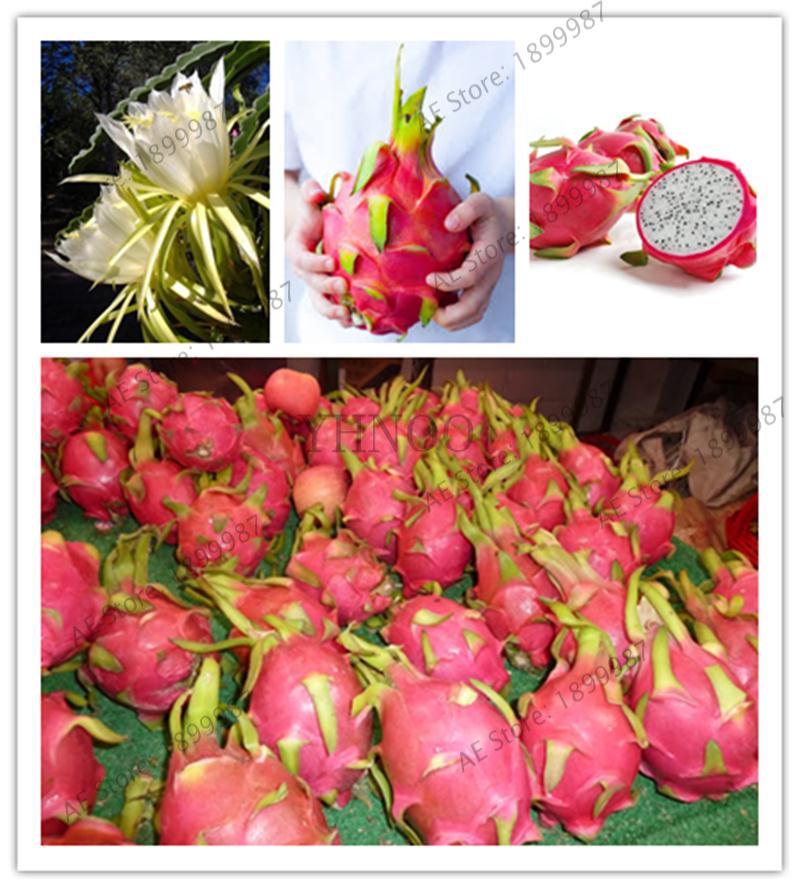 500 dragon fruit,pitaya fruit,Organic heirloom fruit and vegetable bonsai plant for home garden500 dragon fruit,pitaya fruit,Organic heirloom fruit and vegetable bonsai plant for home garden
